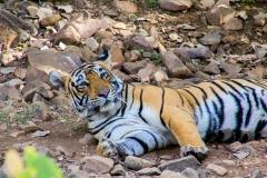 Tijger @Ranthambore National Park