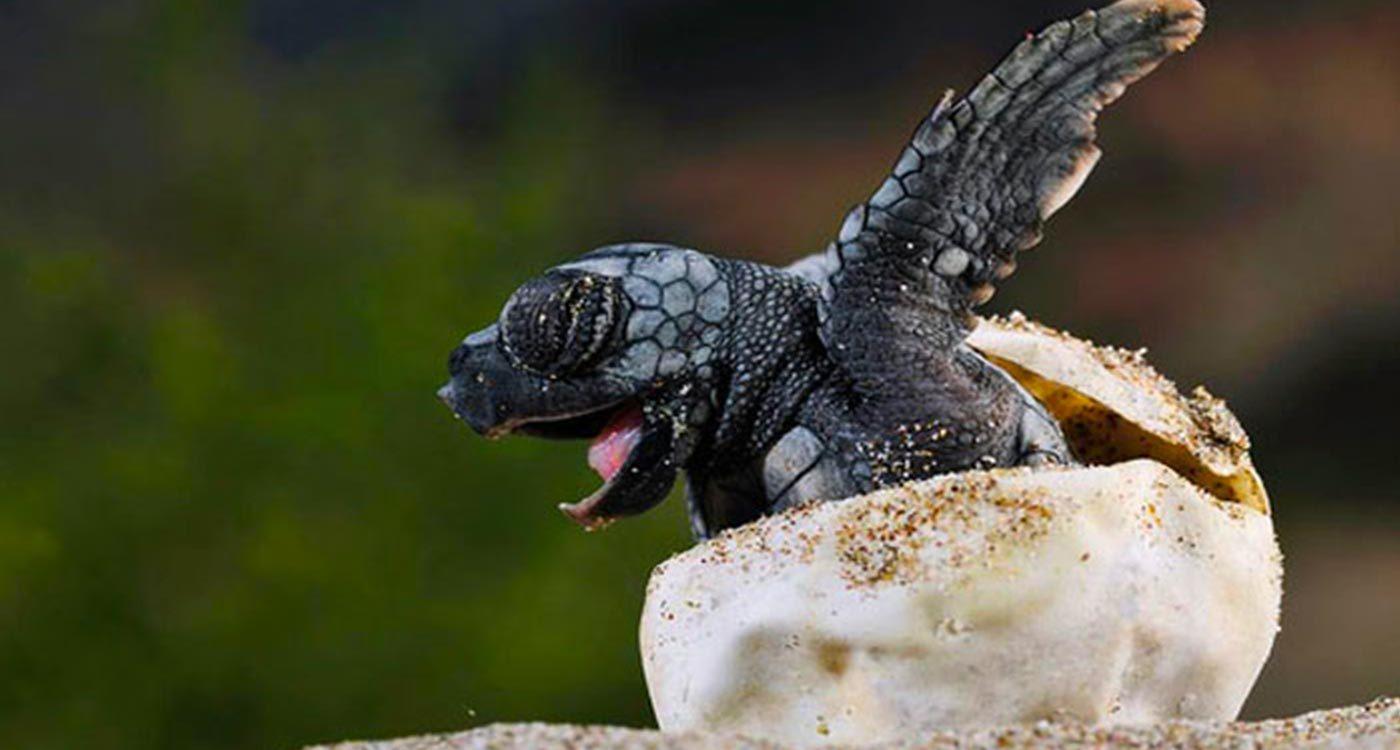 Turtle-Hatching